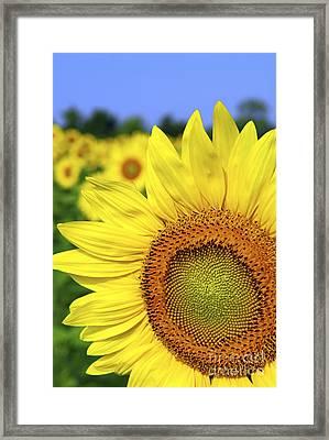 Sunflower In Field Framed Print by Elena Elisseeva
