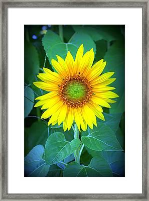 Sunflower In Green Framed Print