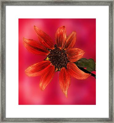 Sunflower In Red Framed Print by Viktor Savchenko