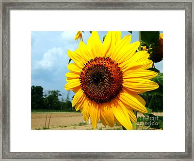 Sunflower In Summer Framed Print