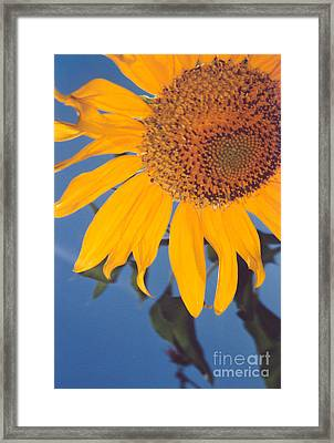 Sunflower In The Corner Framed Print by Heather Kirk