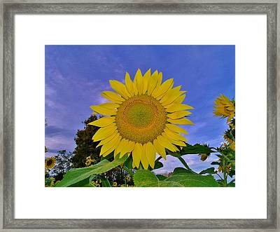 Sunflower In The Sky Framed Print