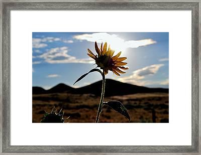 Sunflower In The Sun Framed Print by Matt Harang
