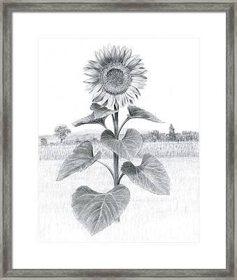 Sunflower In Umbria Framed Print