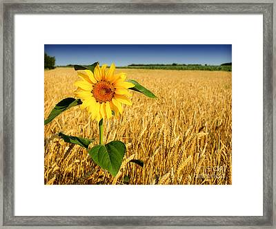 Sunflower In Wheat Framed Print by Boon Mee