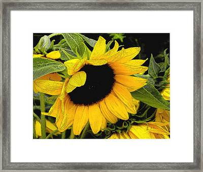 Framed Print featuring the photograph Sunflower by James C Thomas