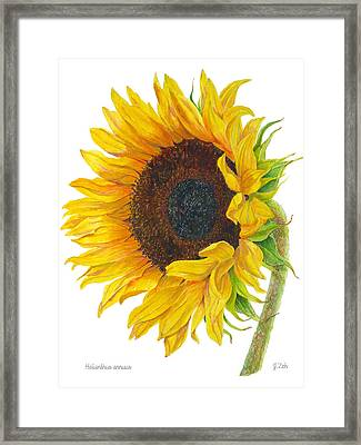 Sunflower - Helianthus Annuus Framed Print by Janet  Zeh
