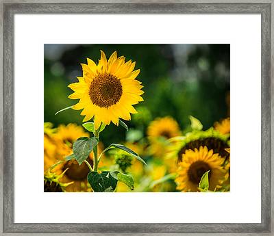 Sunflower Framed Print by Jon Woodhams