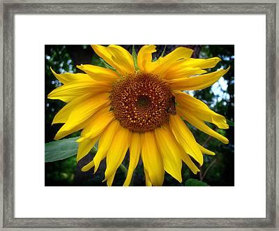 Sunflower Framed Print by Kara  Stewart