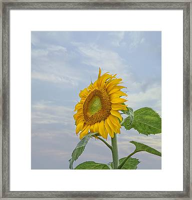 Sunflower Framed Print by Kim Hojnacki