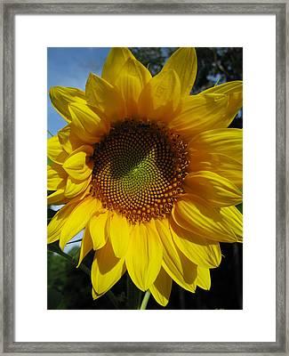 Sunflower  Framed Print by Laura Corebello