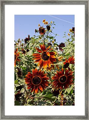 Sunflower Layers Framed Print by Kerri Mortenson