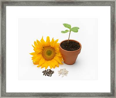 Sunflower Life Cycle Framed Print by Martin Shields