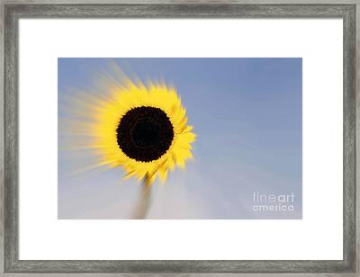 Sunflower Light Rays In The Wind  Framed Print by Linda Matlow