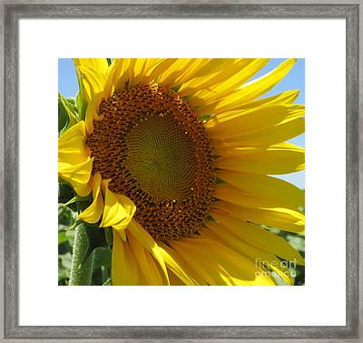 Sunflower Framed Print by Lne Kirkes