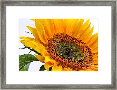 Sunflower Framed Print by Louise Heusinkveld