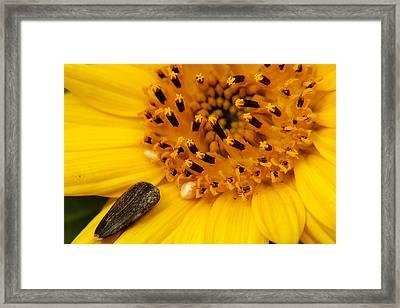 Sunflower Macro 4 Framed Print