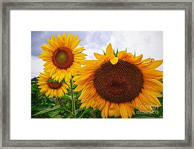 Sunflower Mama And Her Daughters  Framed Print
