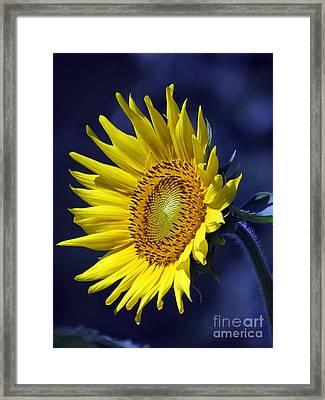 Sunflower On Blue Framed Print