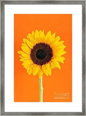 Sunflower On Orange Framed Print by Elena Elisseeva