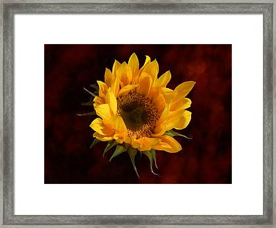 Sunflower Opening Framed Print by Susan Savad