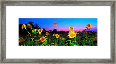 Sunflower Patch And Moon  Framed Print by Randall Branham
