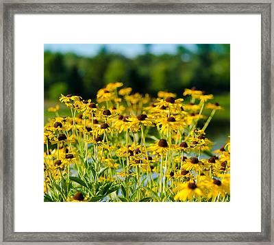 Sunflower Patch Framed Print by John Ullrick