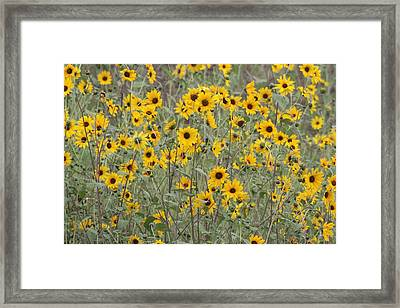 Sunflower Patch On The Hill Framed Print by Tom Janca