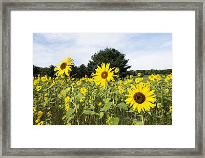 Sunflower Patch Framed Print by Ray Summers Photography