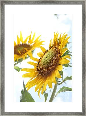 Sunflower Perspective Framed Print by Kerri Mortenson