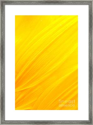 Sunflower Petals Framed Print by Mythja  Photography