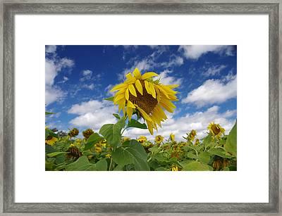 Sunflower Framed Print by Philip Derrico