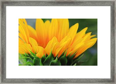 Sunflower Profile Framed Print