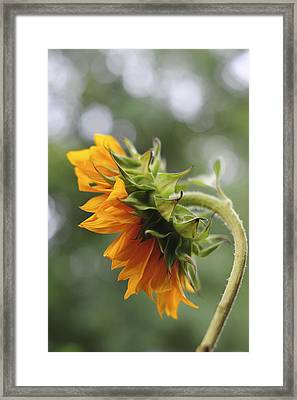 Sunflower Profile Framed Print by Terry DeLuco