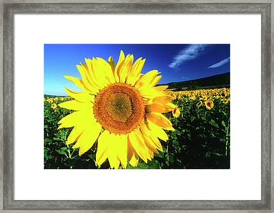 Sunflower, Provence, France Framed Print by Peter Adams