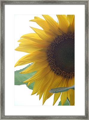 Sunflower Framed Print by Rebecca Powers