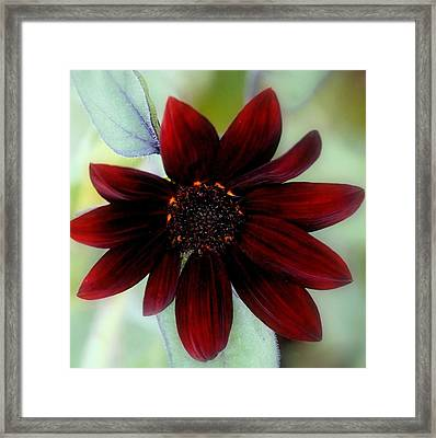 Sunflower Red Framed Print by Rosanne Jordan