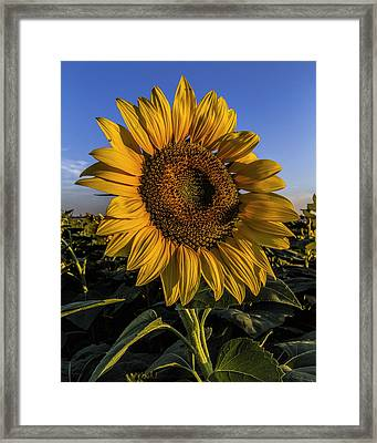 Framed Print featuring the photograph Sunflower by Rob Graham