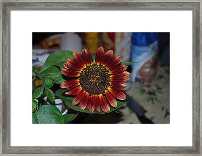 Sunflower Framed Print by Robert Floyd