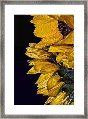 Framed Print featuring the photograph Sunflower by Shirley Mangini