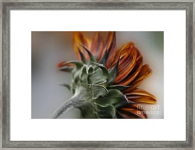 Sunflower Framed Print by Sharon Mau