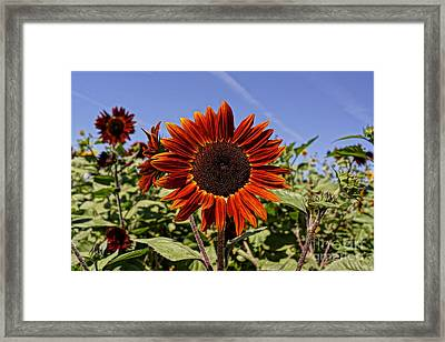 Sunflower Sky Framed Print by Kerri Mortenson