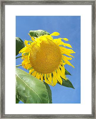 Sunflower Sky Framed Print by Noreen HaCohen