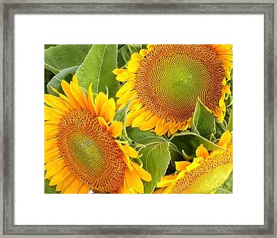 Sunflower Smiles Framed Print by Kim Bemis