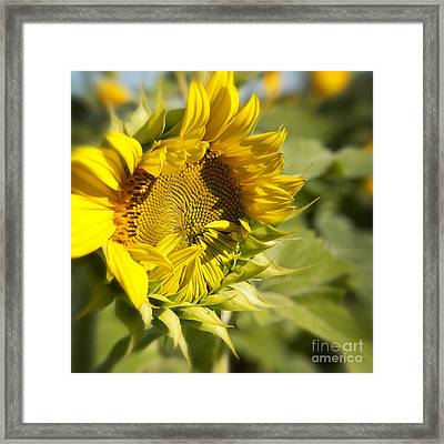 Sunflower Speak No Evil At Mississinewa Framed Print by Lee Craig
