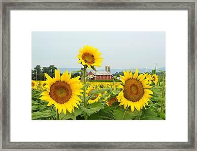 Sunflower Splendor #1 - Mifflinburg Pa Framed Print