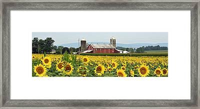 Sunflower Splendor Panorama #1 - Mifflinburg Pa Framed Print