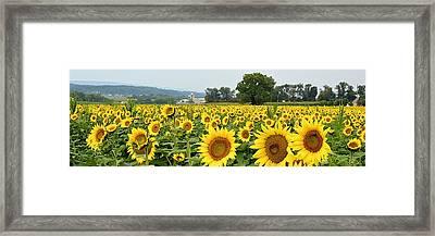 Sunflower Splendor Panorama #2 - Mifflinburg Pa Framed Print