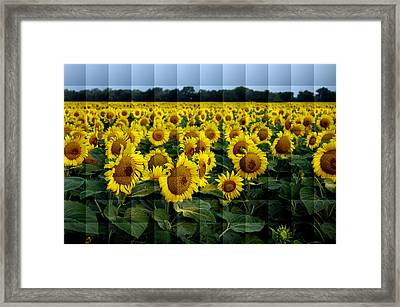 Sunflower Squared Framed Print by Kathy Churchman