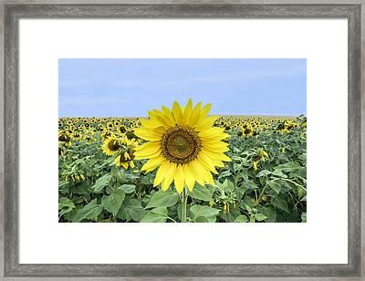 Sunflower Star Of The Show Framed Print